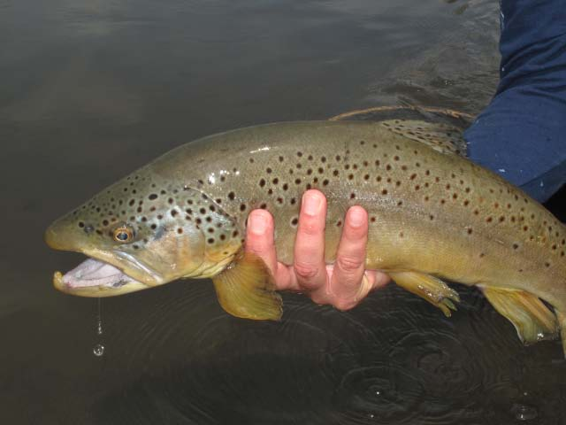 July Montana Brown Trout