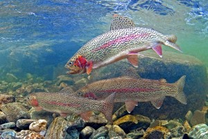 rainbow-trout-madison-river-montana-129