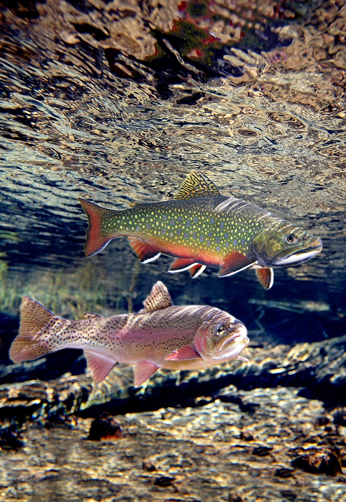 Brook trout and rainbow trout
