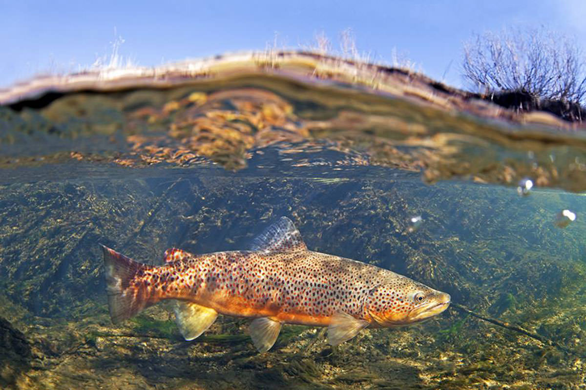 Trout In Water