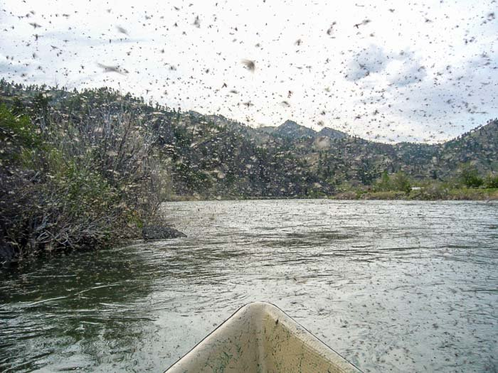 May fly fishing montana 39 s mother 39 s day caddis hatch for Hatch fly fishing