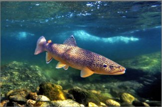 Brown trout in natural habitat