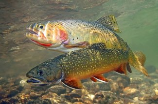 A brookie and cutty await your fly