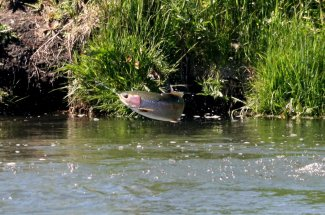 A leaping rainbow trout