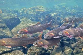 A hungry school of Cutthroat trout