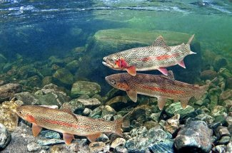 A hungry school of rainbow trout