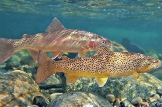 Brown trout and rainbow trout are ready for your fly