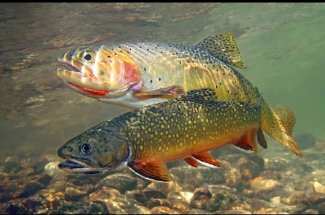 Cutthroat trout and Brook Trout share some water