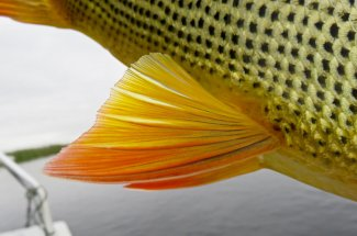 Up close with a golden dorado