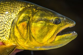 Golden Dorado face
