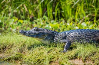 This caiman is watching you