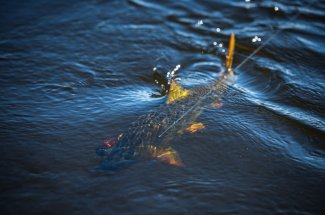 Catch and release of a golden dorado