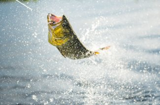 Golden dorado are acrobatic fish
