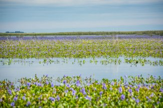 Flower marshes of Argentina