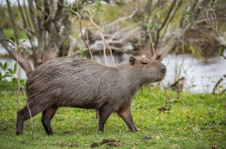 Did you know the capybara is the largest rodent in the world?