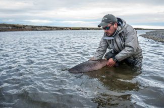 A healthy sea run brown trout is returned to the Rio Grande.