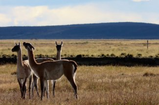 Guanacos roam the river banks of the Rio Grande.