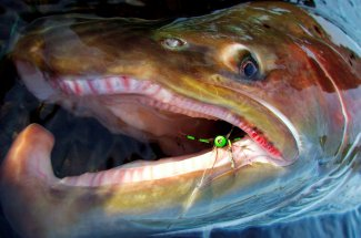 Check out the kype on this sea run brown.