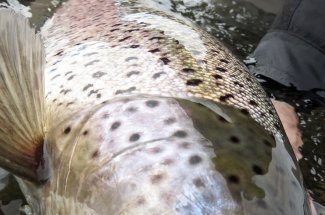 Sea run brown trout are on the bucket list.