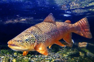 Big brown trout underwater