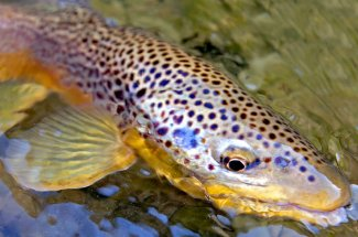 Brown trout caught in a Montana River