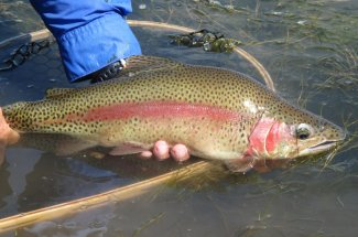big rainbow trout caught and released