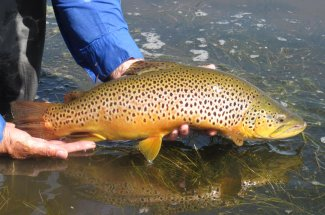 Brown trout returned to the river