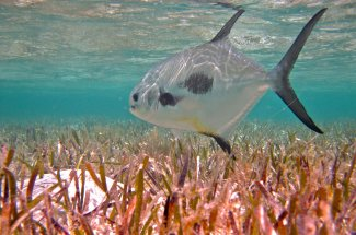 Fly fishing in the Bahamas for permit