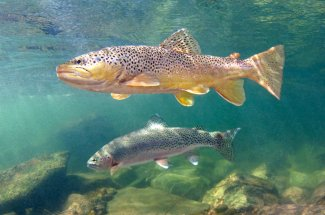Paloma River trout