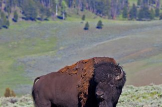 Yellowstone National Park is home of hundreds of buffalo