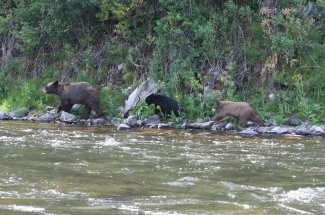 Bears cruising the river bank