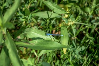 Damsel fly in the grass