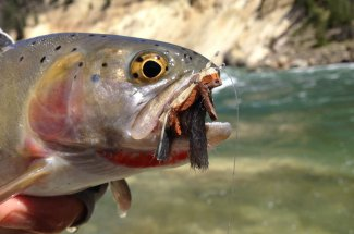 Cutthroat with a mouthful of chubby