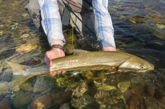 Montana Bull Trout