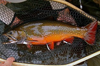 Trophy Labrador Brook Trout