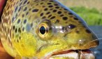 Montana Fly Fishing Trips, Montana Fishing Guides