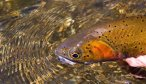 Montana Fly Fishing Guides, Yellowstone River Fly Fishing