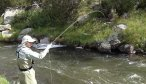 fighting brown trout