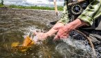 releasing a healthy brown trout