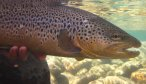 Big NZ brown trout