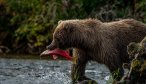 Bear Chasing Salmon