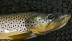 Brown trout ruby river