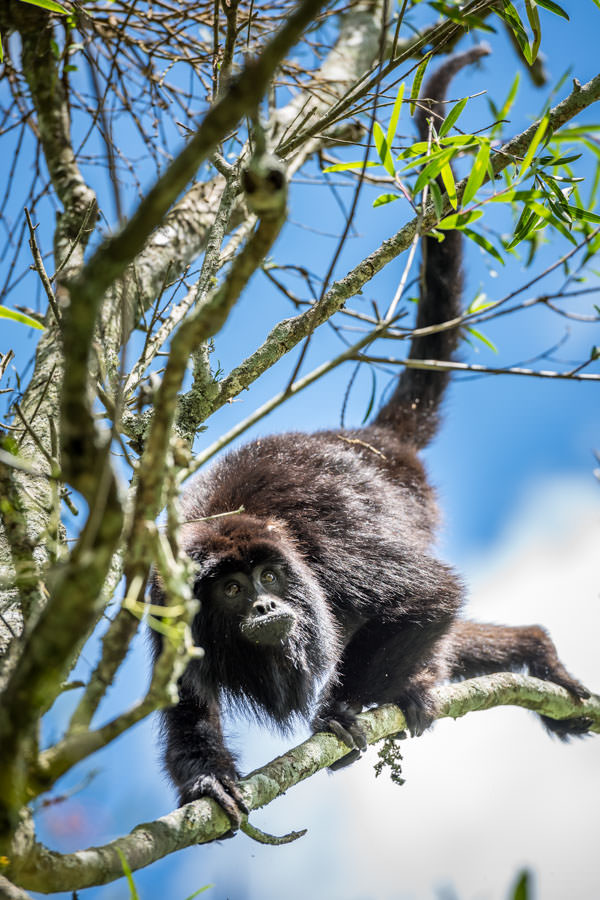 Howler Monkeys in Argentina