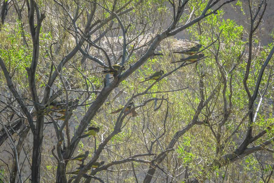 Patagonia parrots take a break in a group of willow trees along the river