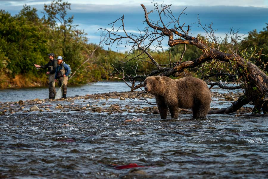 Heavy salmon runs attract lots of bears. Guide Sam keeps a watchful eye on this bear while it chased sockeye in a nearby riffle