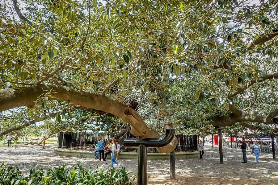 "Gomero De La Recoleta - "" a giant rubber tree that was planted well over 200 years"""