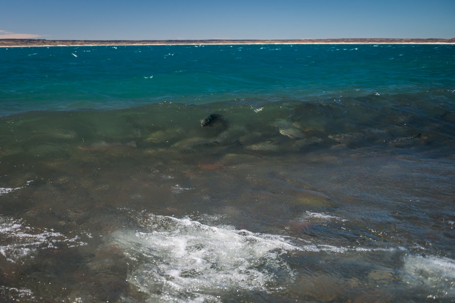 A school of giant rainbow trout surf a breaking wave of Lago Strobel near the mouth of the Barrancoso River