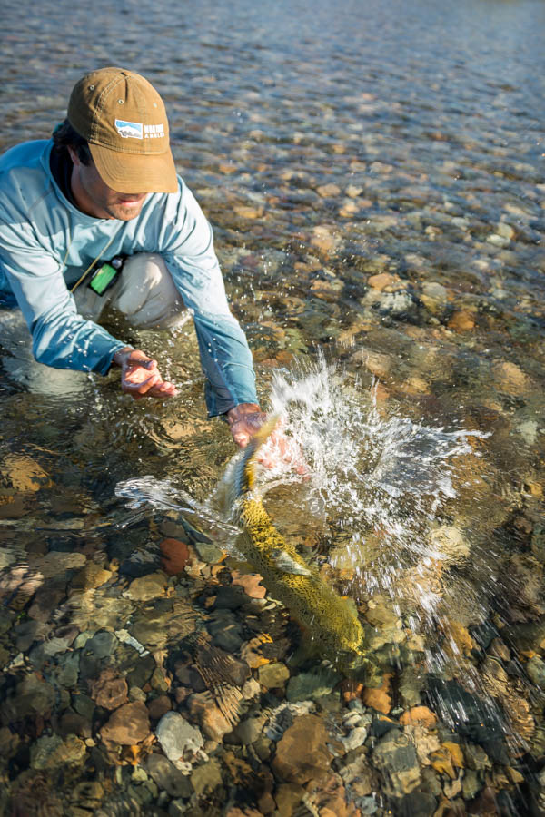"PRG head guide Alex Knull releases a 25"" brown caught on a large dry fly"