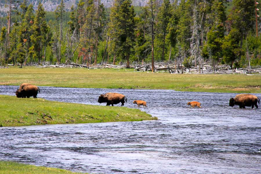 Bison are a common sight along the Madison