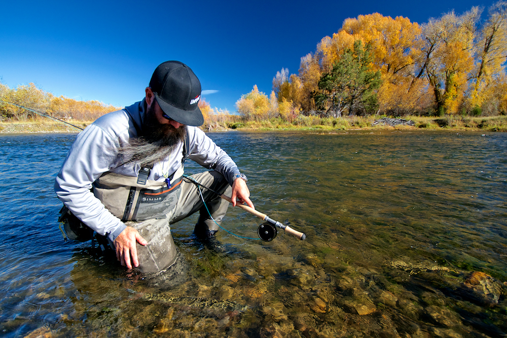 The author releases a nice Madison River rainbow.